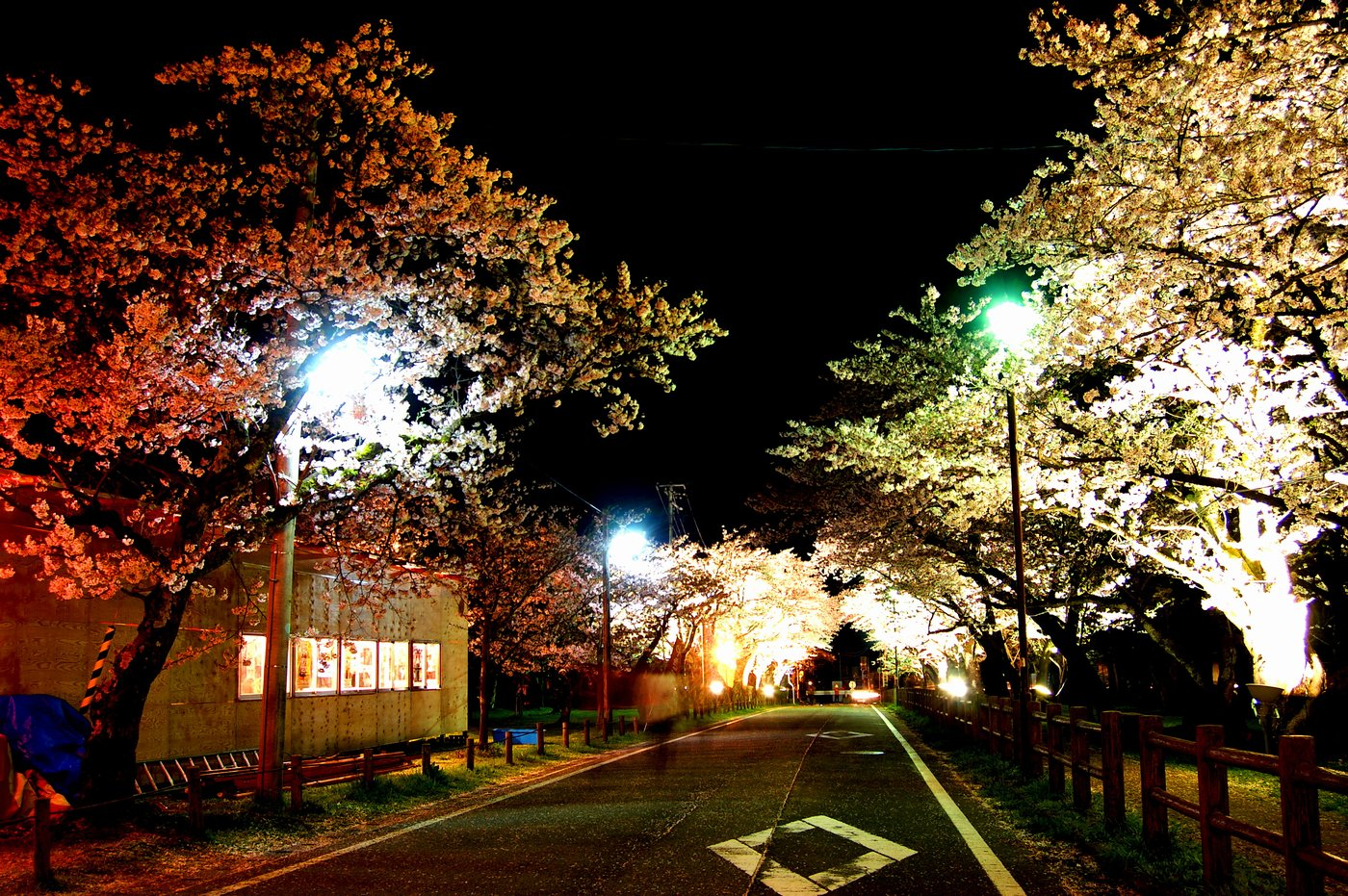 Night View of Cherry Blossoms